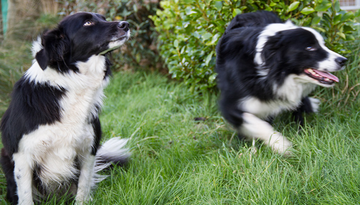 romesdal-collies